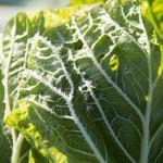 朝採り冬野菜